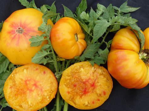 georgia streak tomato   southern exposure seed