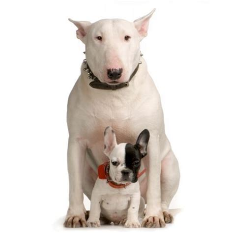 bull terrier the in world bull terrier dogs