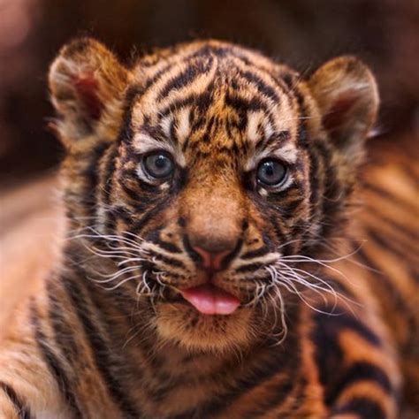 baby tiger with big tiger with images 10 best sumatran tigers are endangered images on
