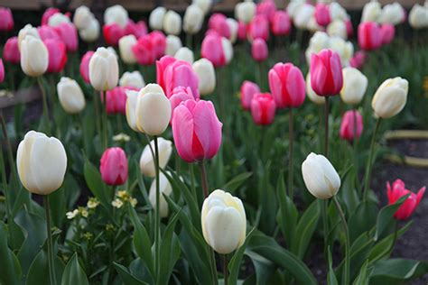 Seprei Tulip Pink 3 Uk 160x200 buy tulip collection pink and white tulips delivery by crocus