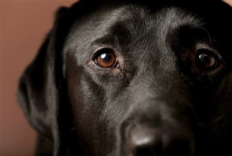 eye diseases in dogs 8 common eye problems in dogs petmd