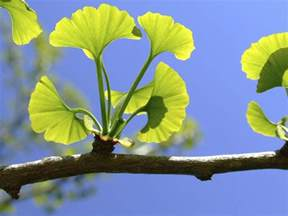 Healing properties of ginkgo biloba and their health