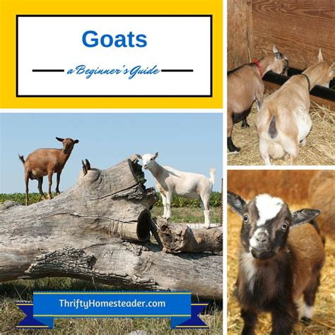 raising dairy goats a beginners starters guide to raising dairy goats books 17 best images about homestead barn yard on