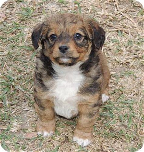 pomeranian king charles spaniel mix spice adopted puppy la habra heights ca pomeranian cavalier king charles
