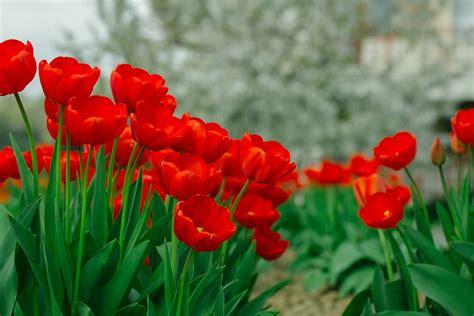 Tulpen Einpflanzen by Tulpen Richtig Pflanzen Und Pflegen