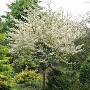 acer cestre carnival variegated maple acer trees