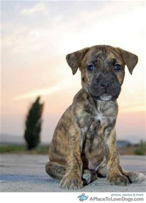 boxer bullmastiff mix puppies for sale 1000 ideas about mastiff mix on mastiff dogs dogs for adoption and