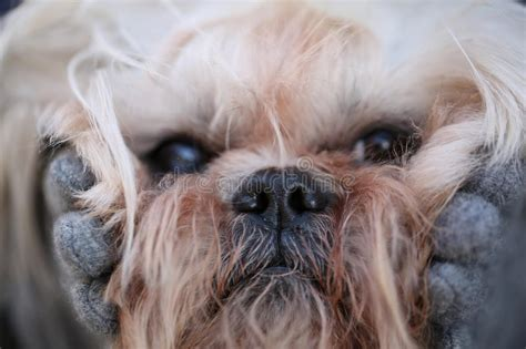 shih tzu muzzle image of fluffy muzzle shih tzu up stock photo image 70584362