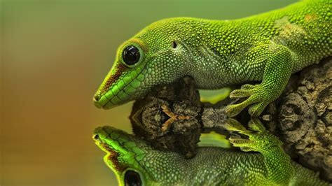 Gecko reptiles reflections wallpaper   AllWallpaper.in