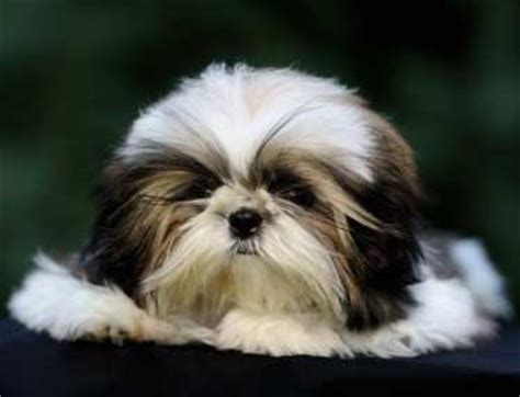 shih tzu shedding puppy coat shih tzu information center shih tzu shedding