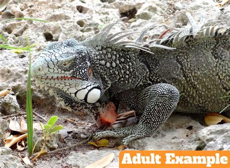 do iguanas change color do iguanas change color reptile gallery