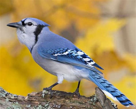 blue jay birds i ve seen at my home pinterest