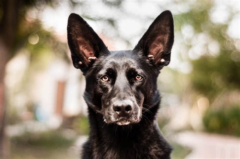 Dutch Shepherd Dog photo and wallpaper. Beautiful Dutch ...
