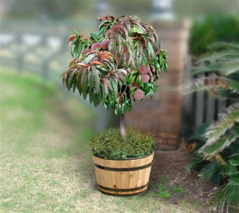 cottage farms dwarf bonanza patio peach tree page 1