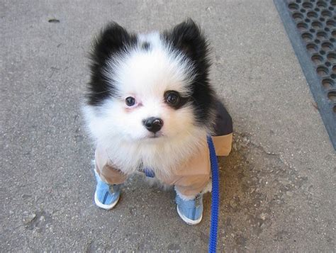 how much are white pomeranian puppies white black pomeranian puppy wearing shoes jpg 1 comment