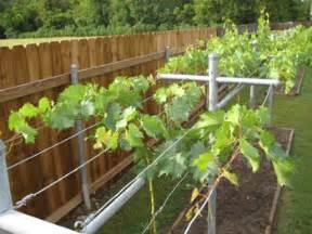 Decorative Grape Vine Trellis Growing Concord Grapes Guide To Installing A Trellis System