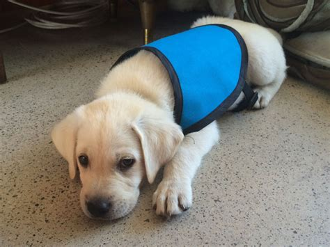 service dogs california service puppy raising in orange county california puppy in