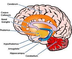 limbic system diagram limbic system notes