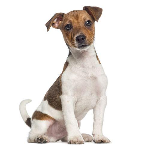 puppyspot havanese terrier breed information and characteristics puppyspot