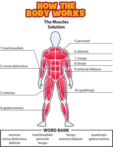 Muscles Anatomy Labeled Library