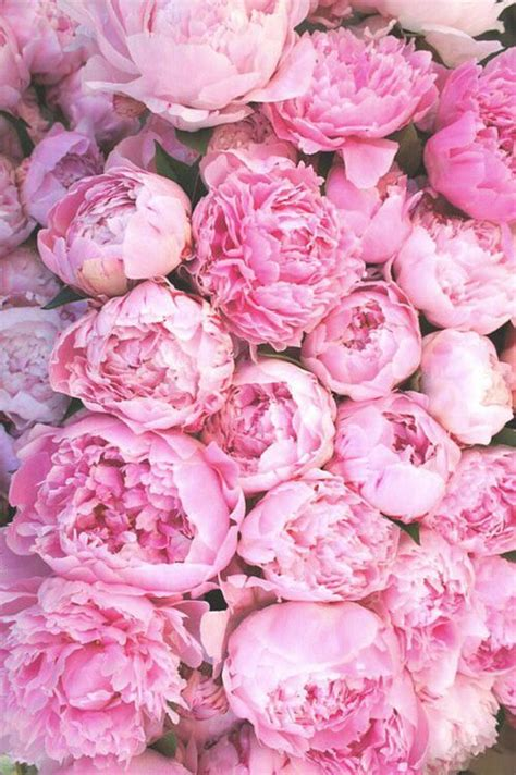 pink peonies 25 best ideas about peony flower on pinterest peony plant peonies and pink peonies