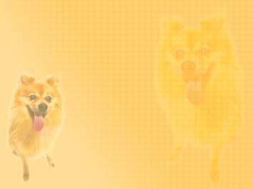 dog pomeranian 01 powerpoint templates