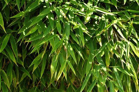 Garten Bambus Jumbo Kaufen by Gartenbambus Jumbo G 252 Nstig Kaufen Floranza De 187 Ihr
