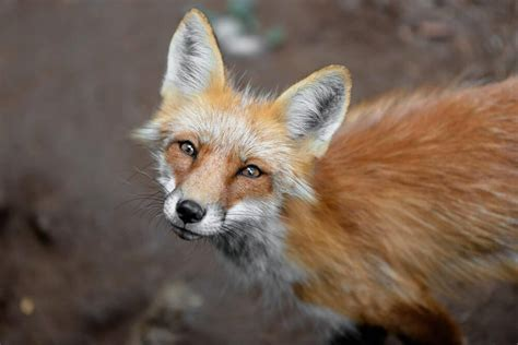 breed that looks like a dogs that look like foxes 12 foxy breeds