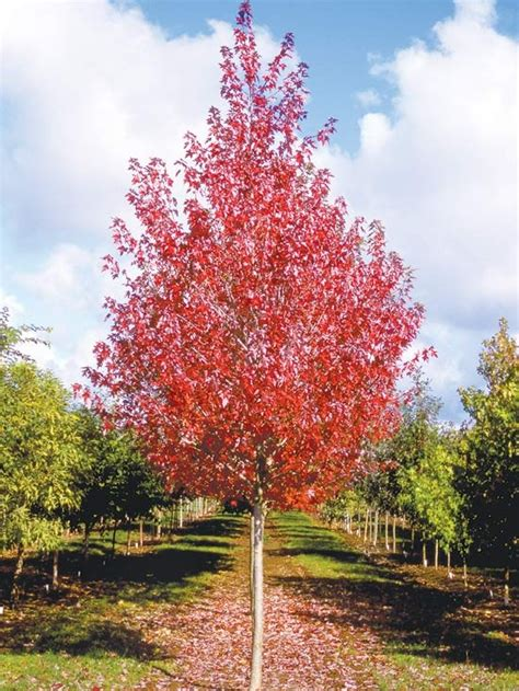 maple tree usda 277 best sun landscaping images on shrubs gardening and sun landscaping
