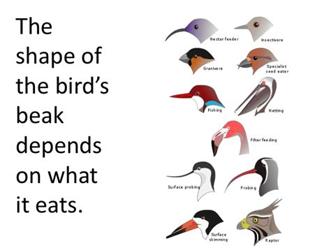types of birds beaks