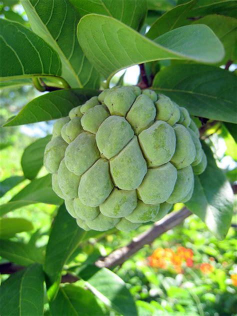 custard apple fruit tree custard apple tree ellora flickr photo