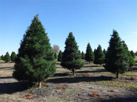 where to get a christmas tree in danvers danvers ma patch