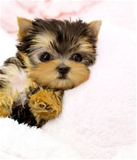 yorkie names and meanings teacup yorkie puppy names
