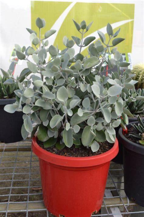 kalanchoe silver spoons mm pots springsummer