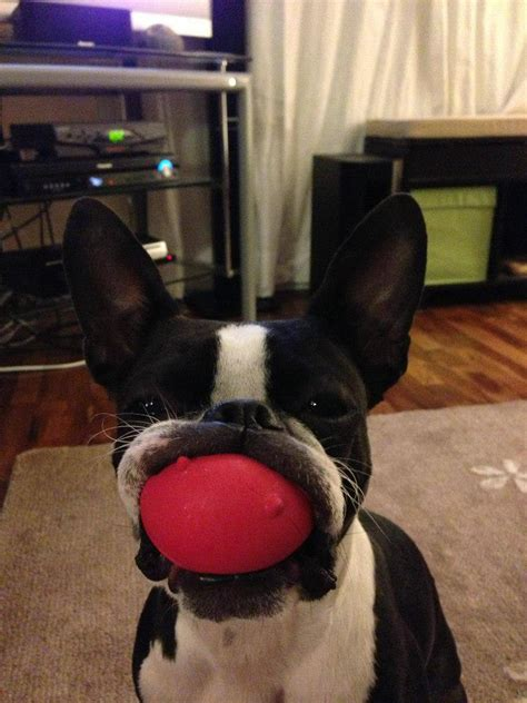Dog Doormats Photo Boston Terrier With A Mouth Full Of Toy