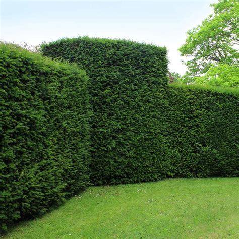 english yew hedge taxus baccata buy hedges direct uk