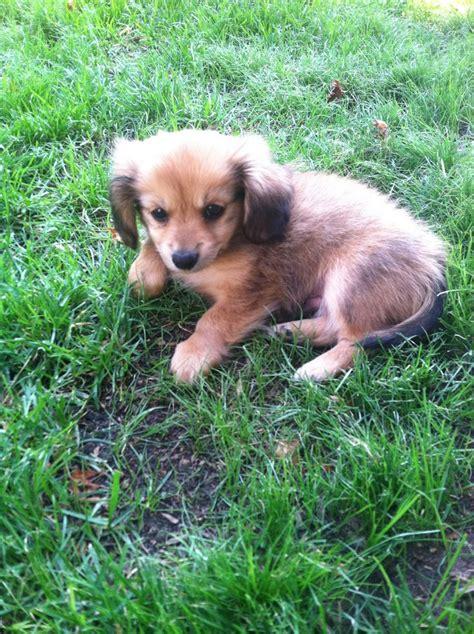 pomeranian dotson mix my new baby dachshund pomeranian mix puppy