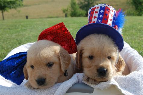 golden retriever puppies in tennessee current litters tennessee golden retriever puppies