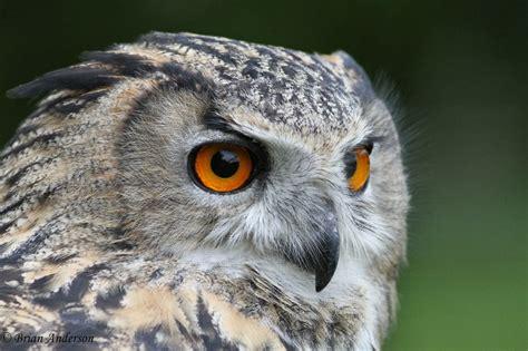 brian s birding blog british wildlife centre quot owls of