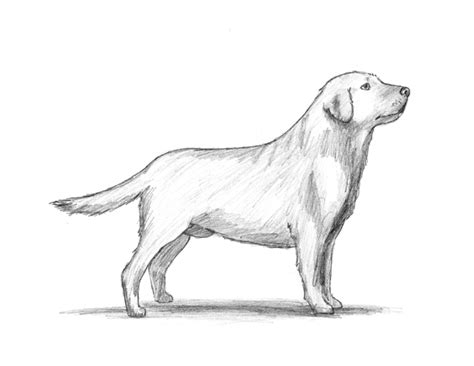 how to a lab puppy labrador puppy drawing