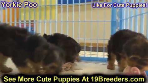 yorkie puppies st petersburg fl yorkie poo puppies for sale in ta florida fl st petersburg clearwater