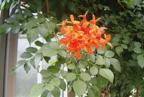 tropical flowering shrubs evergreen flowering shrub for tropical gardens tecoma