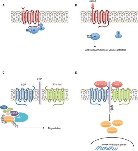 The G-protein coupled receptors signaling pathway. Notes ... G Protein Coupled Receptors Pathway