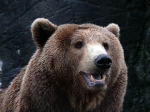 oso pardo 187 osopedia