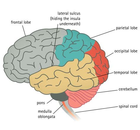 sections and functions of the brain main parts of the brain and their functions body health info