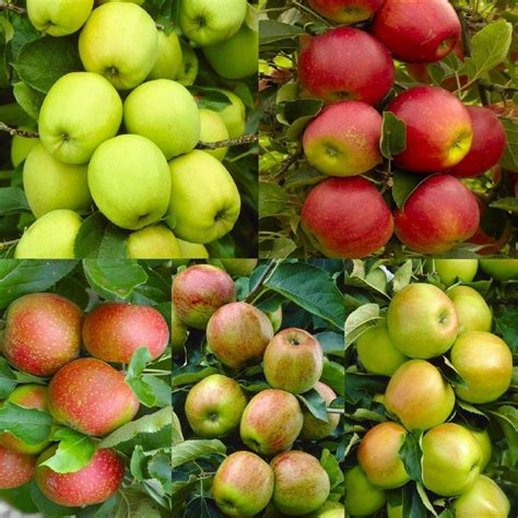 5 fruits in apple tree multi variety fruit tree apple 5
