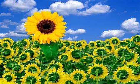 imagenes de flores de girasol fondo pantalla flores girasoles