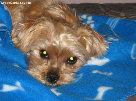when is a yorkie considered grown a photo of a 20 months shorkie he now weighs 14 greatdogsite