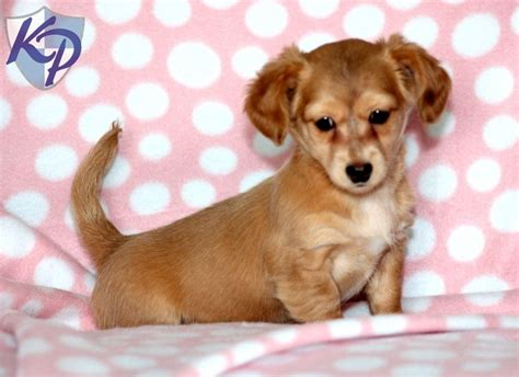 chiweenie puppies for sale chiweenie puppies in pa breeds picture