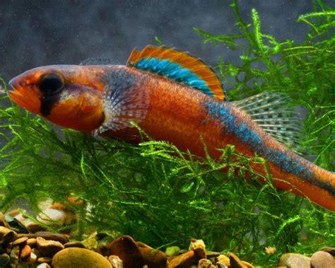 freshwater fish exotic freshwater fish some rare native freshwater fish